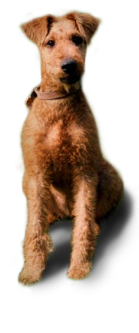 irish terrier pup