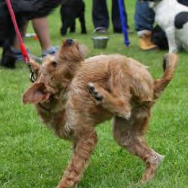 Irish Terrier Groomers