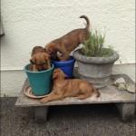 Dixie's puppies