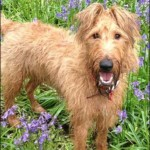 Sue's Irish Terrier