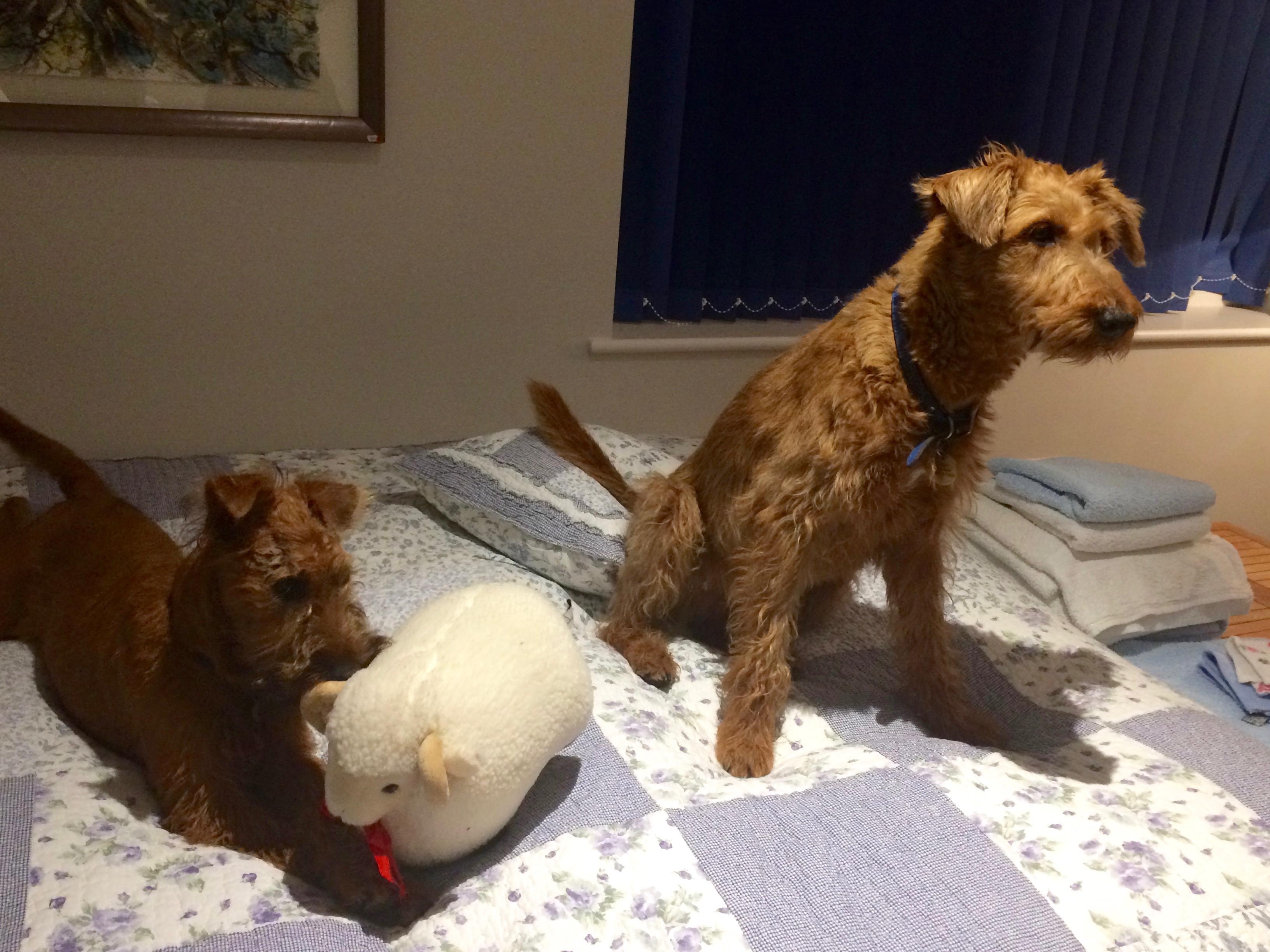 Irish Terrier For Sale Georgia October 2017 Newslette...